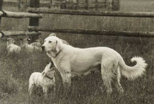 The winning photo of Aba with her pup, Kuckuk, near their flock of sheep.