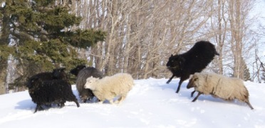 Joyful Shetland sheep on Odessa Farm