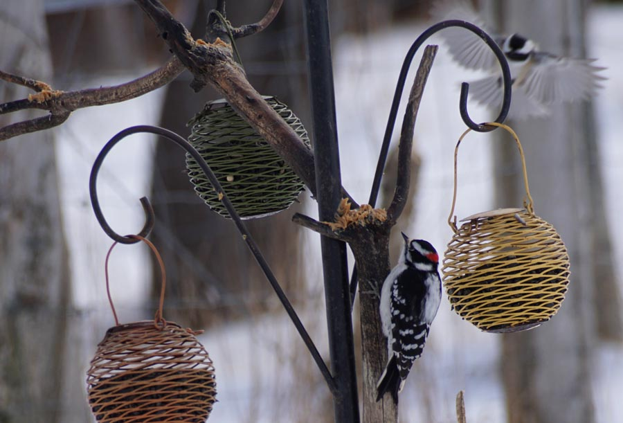 2016 Downy woodpecker