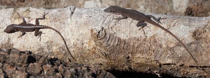 2016 FL Log Lizards