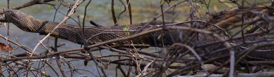 2016 FL Manatee Springs WaterSnake