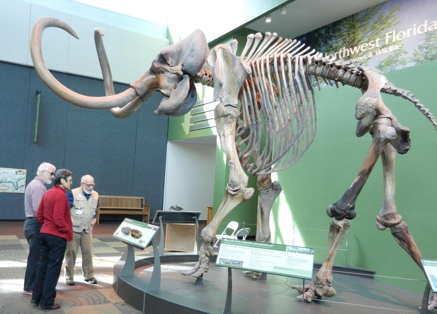 2016 FL mastodon in museum