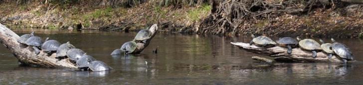 2016 Florida turtles-1