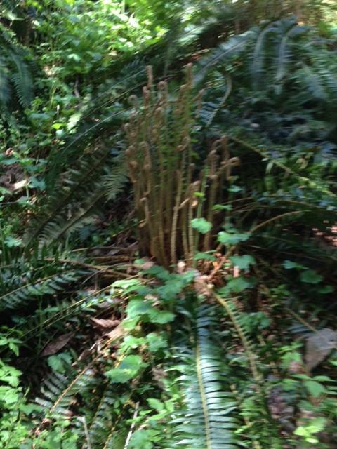 UBC botanical gardens fern